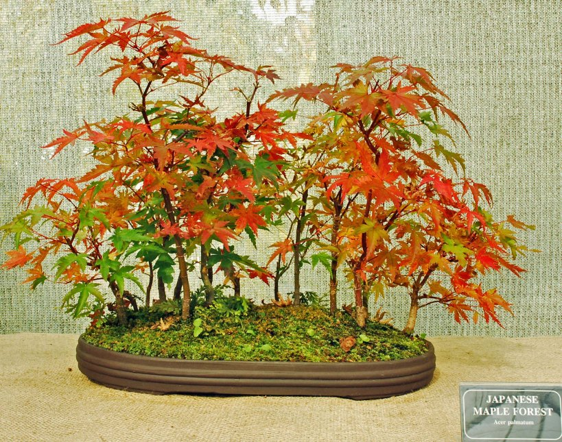 #25 Japanese Maple Forest